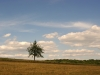 Грушка у полі