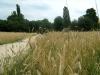 Жито біля музейної Наддінпрянщини