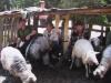 Іл.94. СТРУНКА. Доїння овець