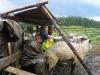 Іл.96. СТРУНКА. Доїння овець